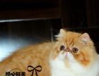 波斯猫幼猫纯种波斯猫宠物猫波斯猫宠物猫波斯猫活体波