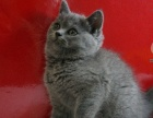 郑州来家看,家养英短 蓝猫大包子脸 市内包送