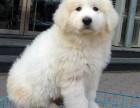 高品质大白熊幼犬找新家纯种健康证书齐全疫苗驱虫已做完
