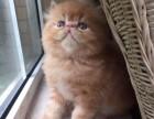 鞍山哪里卖纯种加菲猫多少钱 鞍山加菲猫 无病 无癣 协议质保