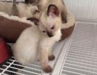 出售暹罗猫 公母都有 喜欢电联