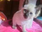 暹罗猫 淡紫 最后一只小公 两个月大