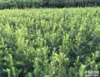 耕地征收低价抛售50-1米高湖南罗汉松小苗,批发罗汉松