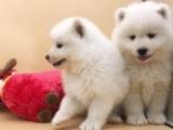 萨摩耶幼犬 保证纯种健康 签订活体协议 包退换
