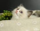 脸猫网 2个月-布偶猫-MM出售