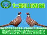 东升禽苗孵化公司出售优质广西鸡苗,崇左鸡苗批发
