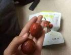 酥脆冬枣,黄骅特产