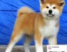 纯种秋田犬狗狗出售