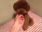 韩系 娃娃脸泰迪犬 口袋茶杯泰迪熊狗 超小体泰迪