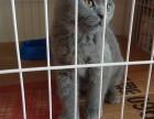自家蓝猫宝宝找新家