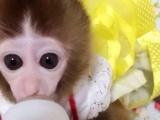 纯种袖珍猴子,可爱袖珍猴
