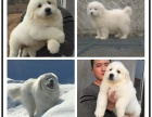 本地犬舍出售纯种大白熊 双血统带证书
