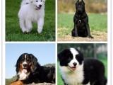繁殖纯种双血统 巨型阿拉斯加雪橇犬 售各种常见犬种