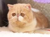 绍兴哪里有波斯猫卖 纯种 无病无廯 协议质保
