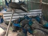 重庆孔雀苗养殖出售 开屏孔雀苗批发价格