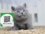 镇江哪里有卖蓝猫 镇江出售蓝猫 镇江蓝猫买卖