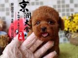 莆田哪里有卖纯种泰迪熊犬的 莆田哪里有卖茶杯犬的