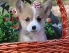 成都出售名犬柯基,呆萌小短腿,高品质纯种质量,签订合同