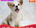 本地出售纯种柯基幼犬,十年信誉有保障