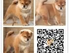 犬舍出售纯秋田犬 健康纯种 诚信经营 可上门挑选