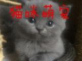 自己繁殖纯种蓝猫 保证健康 无癣 支持上门看猫