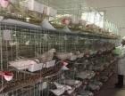鸽子养殖 加盟包回收 签合同加盟 种植养殖