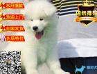 出售纯种忠诚天使微笑萨摩耶幼犬 包健康
