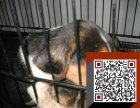 出售比格/纯种幼犬/信誉保证/欢迎上门选购