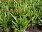 杭州华博同创大量批发鹤壁市紫花三叉白芨种苗 价格优惠
