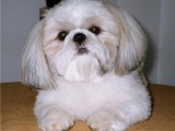 韓國引進種犬,賽級西施犬,三個月免費退換