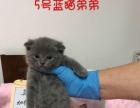 家养再一窝英国短毛猫,非猫舍,一猫一价,1500元起。