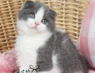 出售纯血统赛级英国短毛猫 无病无癣保健康可签协议出