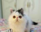加菲猫 波斯猫 异国短毛(长毛)猫 公猫 母猫