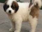 哪里有出售圣伯纳的 浙江哪里有出售圣伯纳的犬舍 圣伯纳一般多