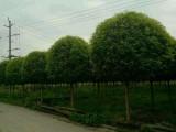 成都高杆桂花基地桂花直销低价格树型优美质量优