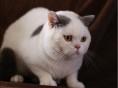 蓝猫家养 纯种英国短毛猫 蓝白 加菲猫幼猫活体