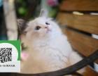 大连哪里开猫舍卖布偶猫 去哪里可以买得到纯种布偶猫