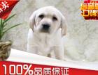 正规犬舍繁殖 赛级品质 拉布拉多幼犬 包活