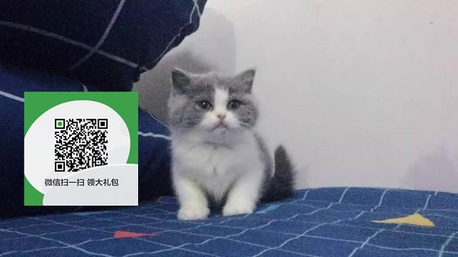 楚雄哪里开猫舍卖蓝猫 去哪里可以买得到纯种蓝猫