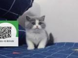 镇江哪里有宠物猫出售,镇江哪里有卖纯种蓝猫价格