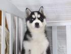 中国专业繁殖双血统哈士奇犬舍 可以上门挑选