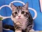 美国短毛猫活体纯种银虎斑加白幼猫 美短毛猫活体折耳纯种虎斑猫