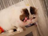 潍坊哪里有正规宠物店买卖加菲猫 潍坊最便宜加菲猫多少钱