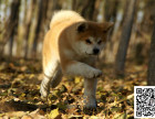 专业繁殖 纯种秋田幼犬 可送货上门.签协议保健康