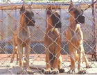 承德哪里有出售大丹犬幼犬的 纯种大丹犬幼犬多少钱一只