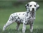 出售纯种斑点狗狗幼犬 价格合理品质保证可上门挑选