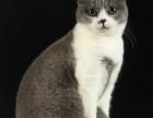 脸猫网 出售8个月-英国短毛猫-MM
