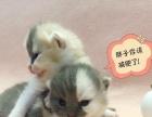 家养繁殖三花母猫 2000带回家