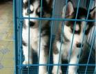 包防疫驱虫 纯种 哈士奇犬 买狗赠送礼包,包养活
