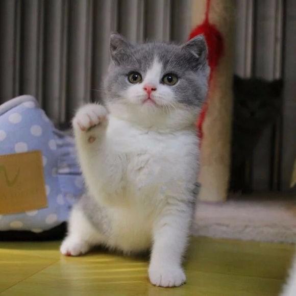 武汉哪里有英短猫卖 专业繁殖 公母均有 包纯种包健康